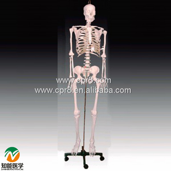 BIX-A1001 Human Skeleton Model(180cm) W016 bix a1005 human skeleton model with heart and vessels model 85cm wbw394
