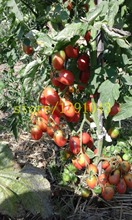 tomato seeds 200 pcs cherry tomato bonsai seeds rare vegetable seeds for home&garden planting