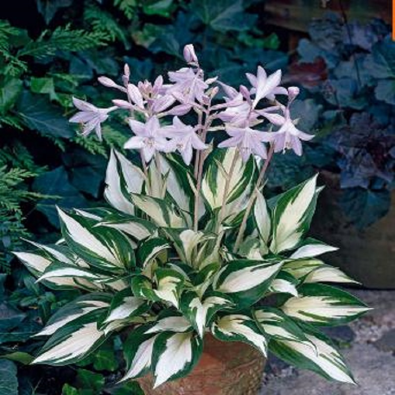 2016 Sementes Flower Seeds Hosta Seeds Fire And Ice Shade Perennials Plantain Flower Bonsai Home Garden Ground Cover Plant Seed