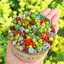 200pcs Rare Succulents Seeds