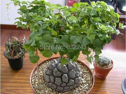 Diy Home Garden Succulent Plant 5 Seeds Elephant S Foot Dioscorea Elephantipes Free Shipping