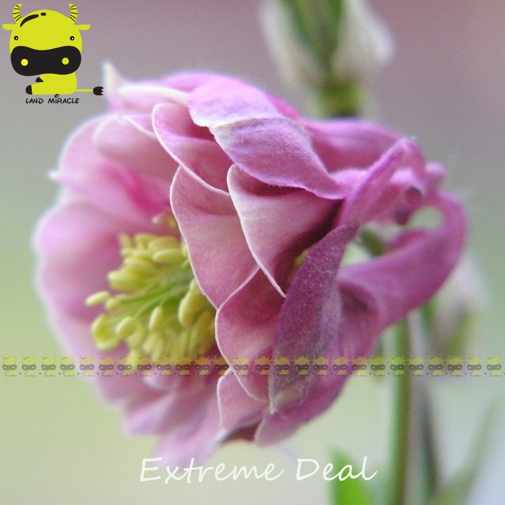 Buy double aquilegia columbine seed and get free shipping on buy double aquilegia columbine seed and get free shipping on aliexpress izmirmasajfo Images