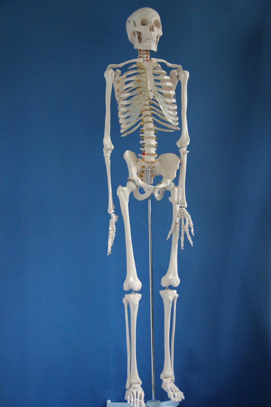 ISO Advanced Full Body skeleton, Flexible Skeleton ModelISO Advanced Full Body skeleton, Flexible Skeleton Model
