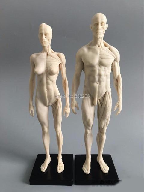16 30cm White Human Anatomy Malefemale Flesh Anatomy Comparative