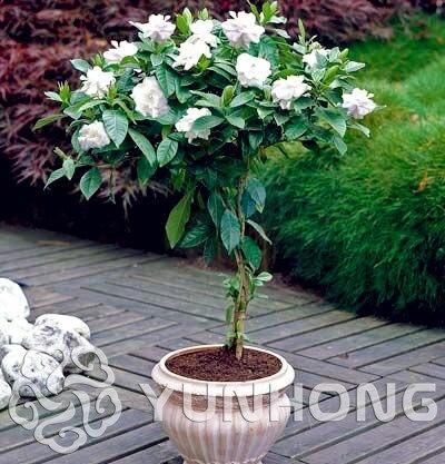 5 PCS Cape Jasmine Seeds,(gardenia Jasminoides) Fragrant Exotic Shrub - Open Pollinate R ...