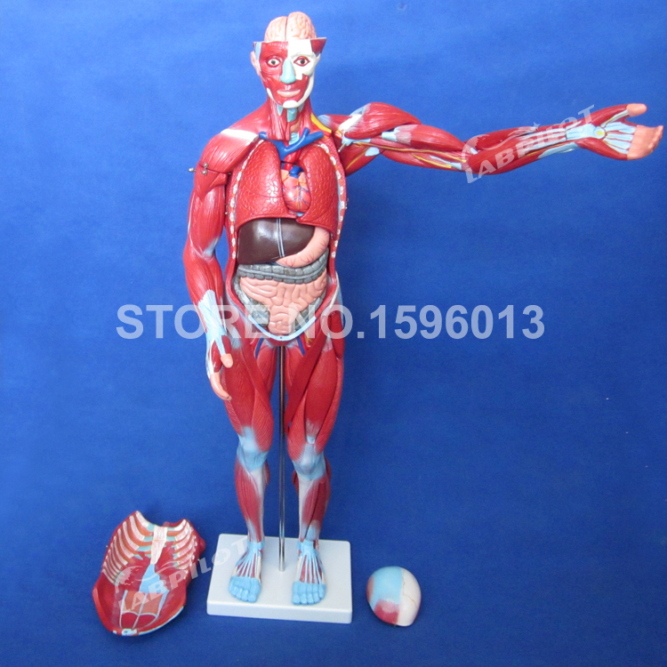 170 Cm Full Body Muscles Of Male With Internal Organs 27 Parts Human