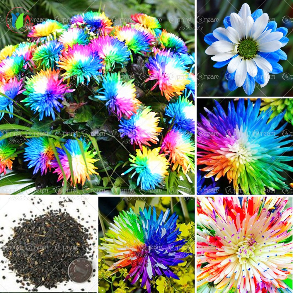 100/bag Rainbow Chrysanthemum Flower Seeds, rare color , new arrival DIY Home Garden flower plant