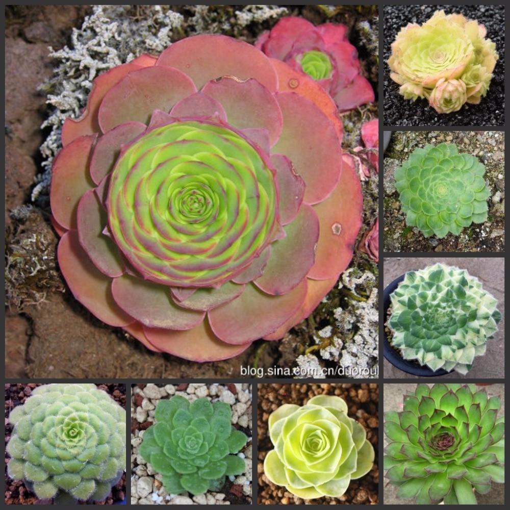 100PCS Fresh Real Aeonium tabuliforme semillas - Mingjing - Succulent plant sementes