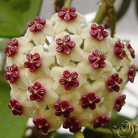 hoya sementes semente em vasos hoya carnosa flor sementes de plantas de jardim
