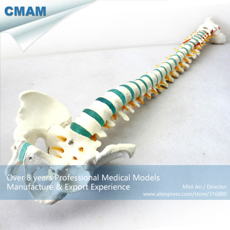 12375 CMAM-SPINE04 Life-size Vertebral Column with Tripod , Medical Science Educational Teaching Anatomical Models cmam spine11 human vertebral column w half femur highly detailed model medical science educational teaching anatomical models