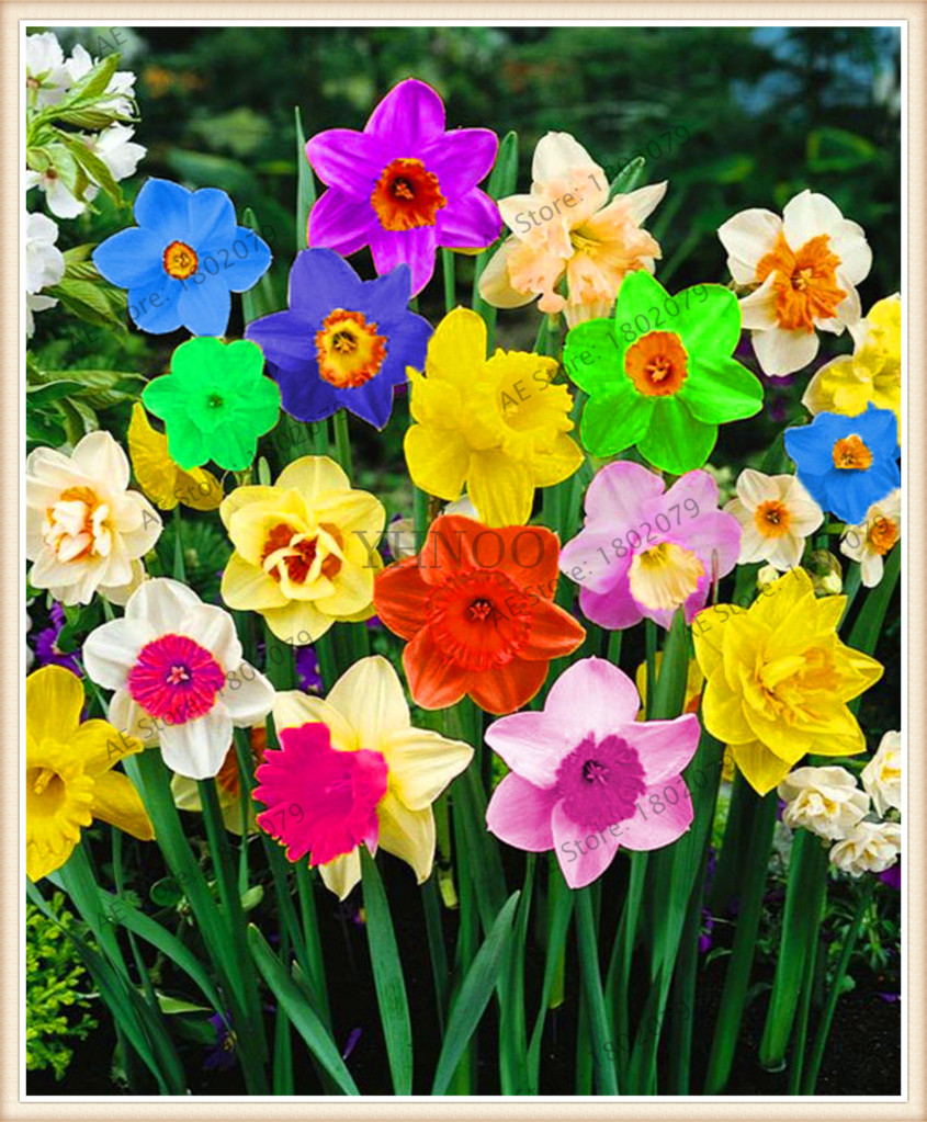 When how to plant daffodil bulbs - 100pcs Flower Daffodil Daffodil Seeds Not Daffodil Bulbs Bonsai Flower Seeds Aquatic Plants Double Petals Narcissus Garden Plant