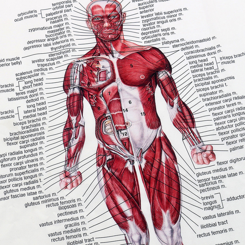 1pc Muscle System Posters Anatomy Chart Human Body Educational Home