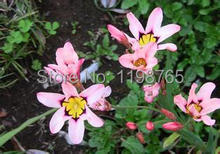 Free Shipping 100pcs Rose Tricolor Seeds Sparaxis Flower Seeds For Garden Home.Semillas de Flores.Blue Pink White Orange Rose