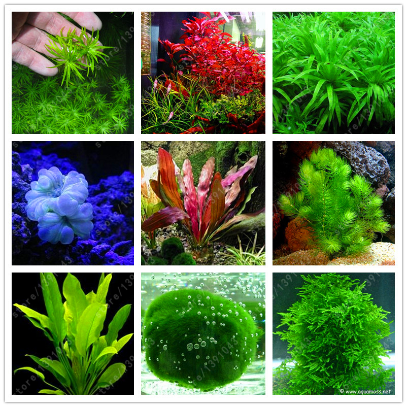 100 pcs bag aquarium plants seeds grass water aquatic plant seeds indoor ornamental plant grass - Indoor water plants list ...
