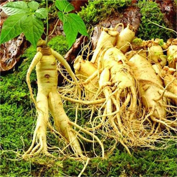 50 Pcs/Lot Hot Sale!Chinese Ginseng , Panax Ginseng Flores , Potted Bonsai Plant Flower Plantas For Home Garden Easy To Grow