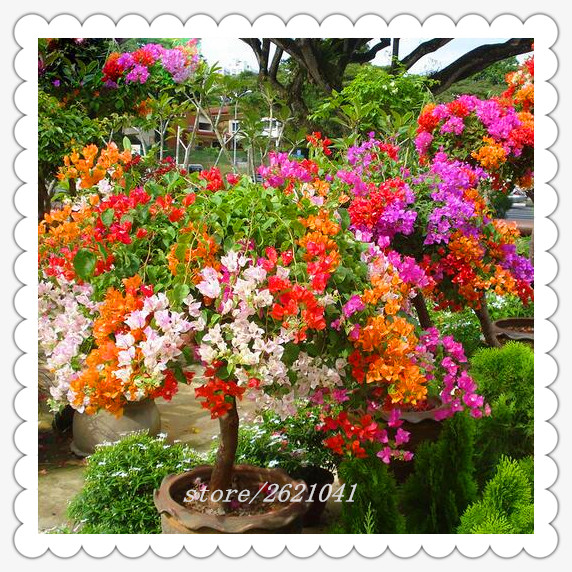 Top Selling Colorful Bougainvillea Spectabilis Willd Seeds Bonsai Plant Flower Seeds Perennial Bougainvillea seeds 20 PCS