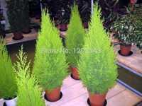 Di vendita caldo 50 pcs cipressi Platycladus orientalis tuia orientale piante Conifere piante FAI DA TE giardino di casa di trasporto libero