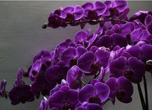 Bonsai balcony flower butterfly orchid seeds purple 1 pack 10 #