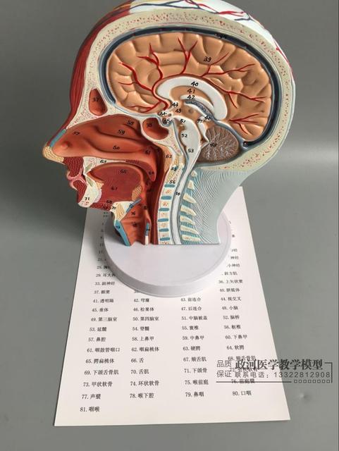 27*20*10 cm Kopf muskelmodell Schädel anatomie modell Kopf blutgefäß ...