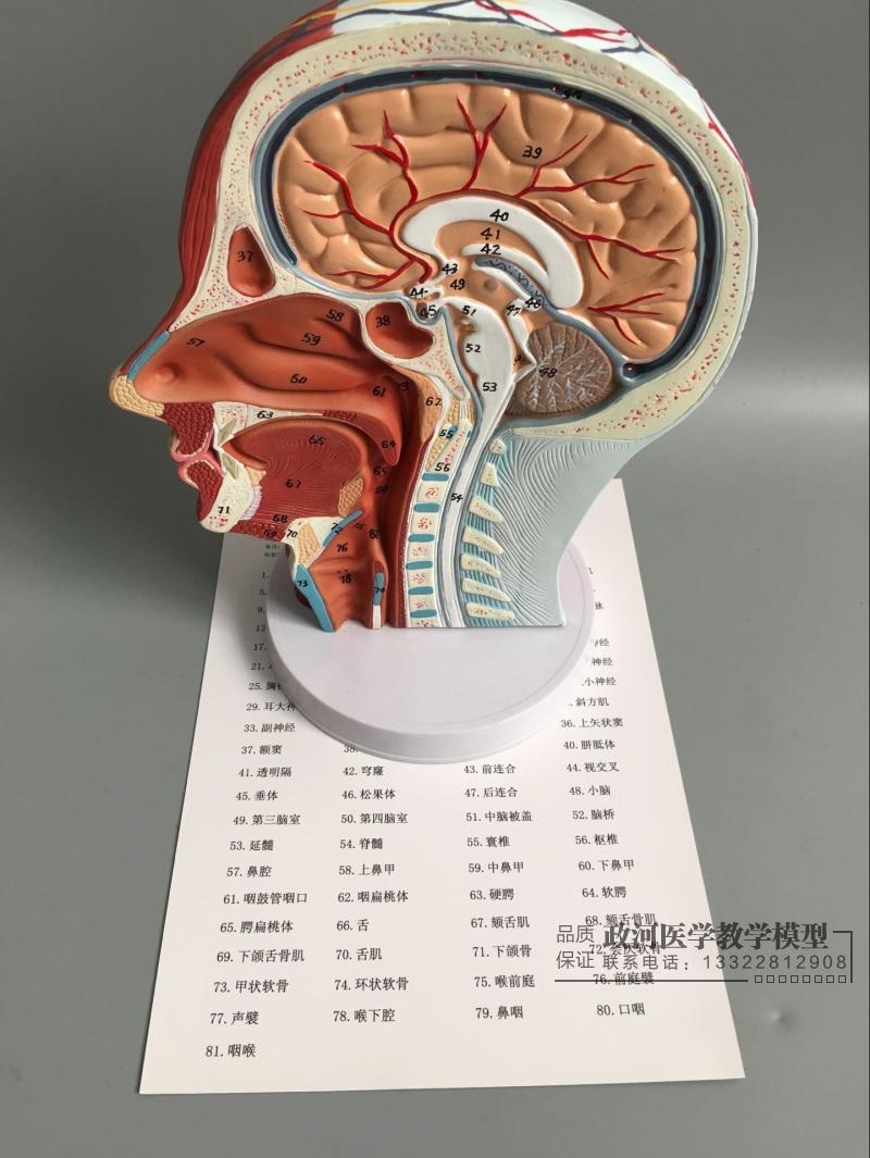 27*20*10cm Head muscle model Skull anatomy model Head blood vessel 100 signs pvc material 27*20*10