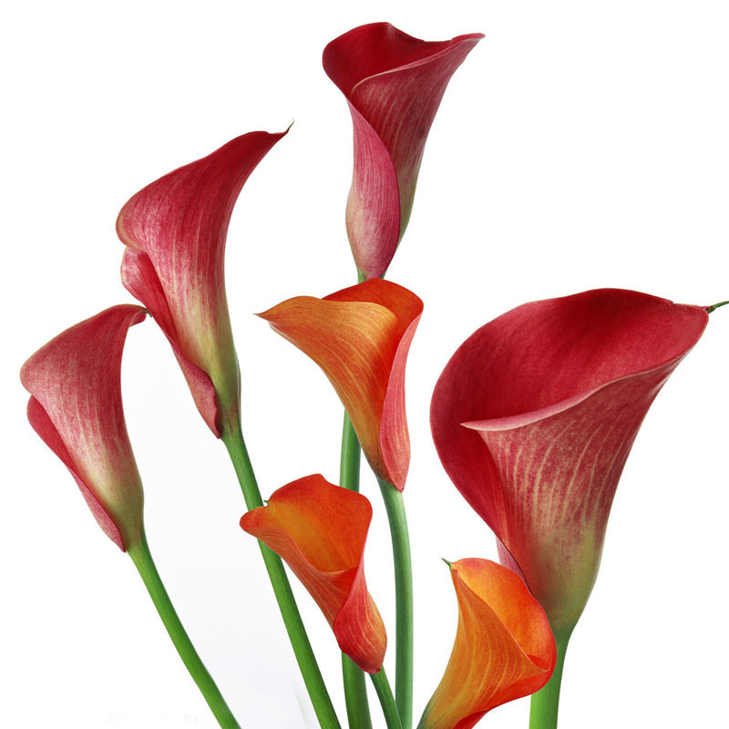 Hot Sale Rare Red Calla Seeds Balcony Potted Bonsai Patio Plant Seeds Aethiopica Flower Seeds 120PCS