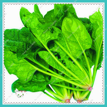 200pcs/bag Spinach Seeds Salad Leaves Good Taste Non-GMO vegetable seeds,bonsai plant home garden