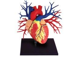 1:1 человеческое роскошное сердце обучающая модель для анатомической медицины мужские органы головоломка игрушка биология учебно-медицинс...