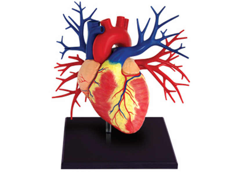 1:1 Human Deluxe Heart Teaching Model For Anatomical Medicine Man Organs Puzzle Toy Biology Teaching Aids  Medical Science