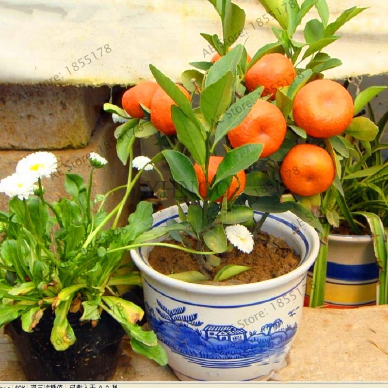 Big Sale 10 Pcs Bonsai Orange Plants No Gmo Mini Bonsai Tree Balcony Patio Potted Fruit Trees Kumquat Garden Tangerine Citrus Aliexpress