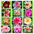 Потери Акция! Шт. 1 шт. пустыня Роза завод бонсай сад, двор, балкон горшечные цветы - фото
