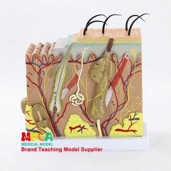 4D 50X Büyütülmüş İnsan Cilt ve Saç Organları Montaj Tıbbi Model beyin Mankeni Bilim Anatomi Modeli Kırtasiye için okul
