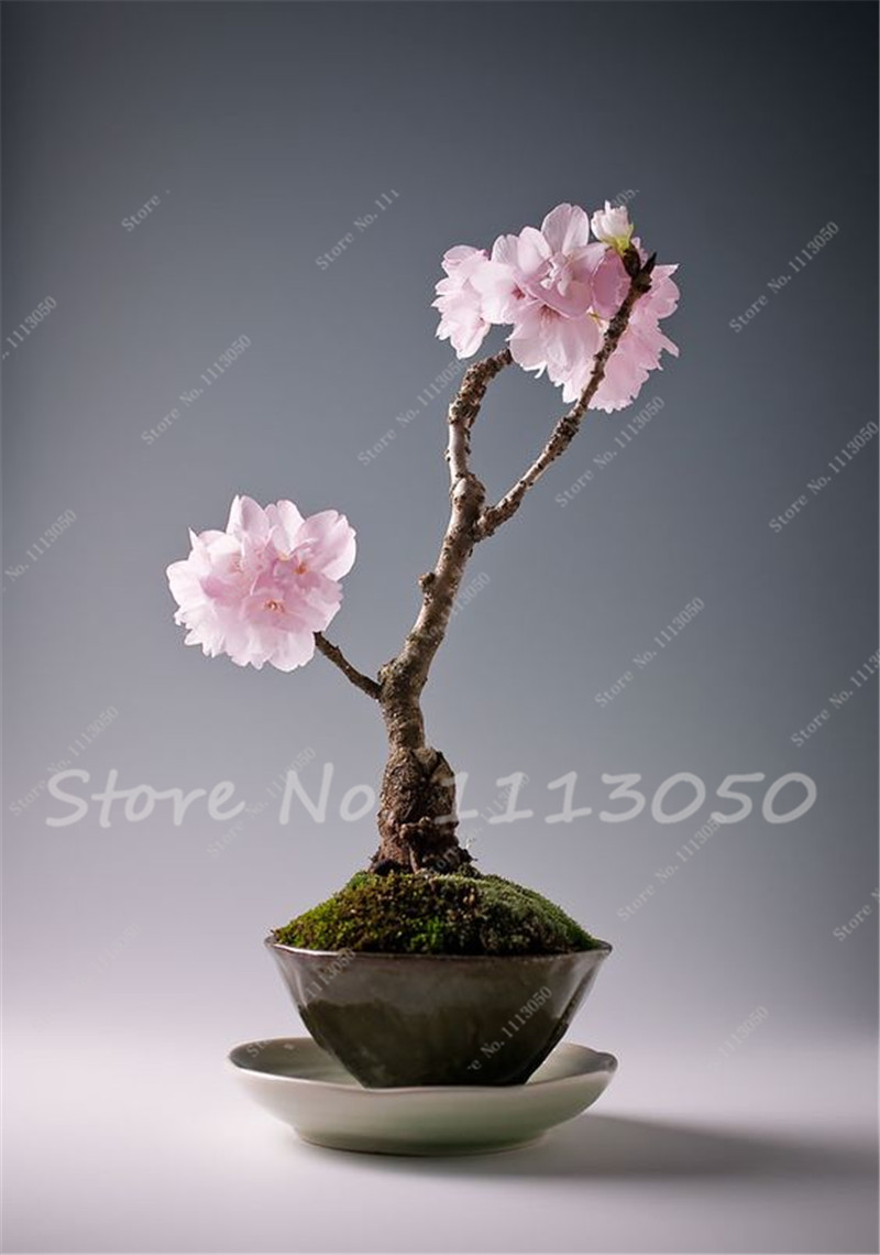 Mini Bonsai Tree Anese Sakura Seeds Flower Cherry Blossoms