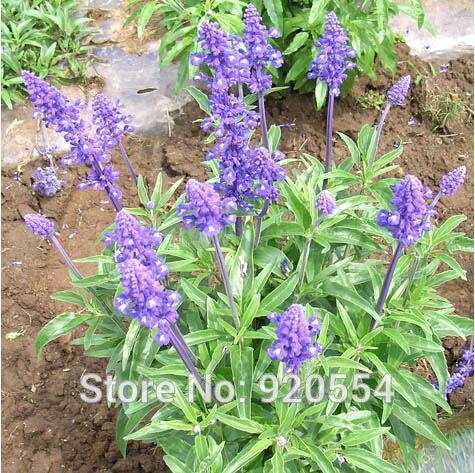 Online Shop Imported seeds,200pcs/lot Chia Seed ,Salvia hispanica ...