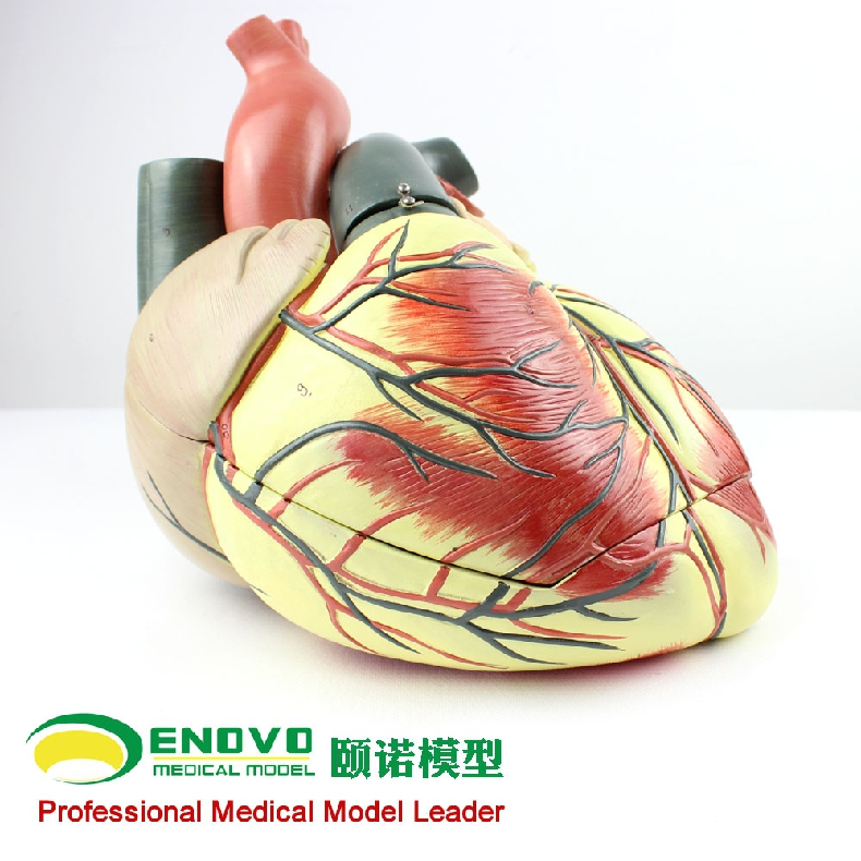 Medical ultrasonic human heart model Department of Cardiology color ...