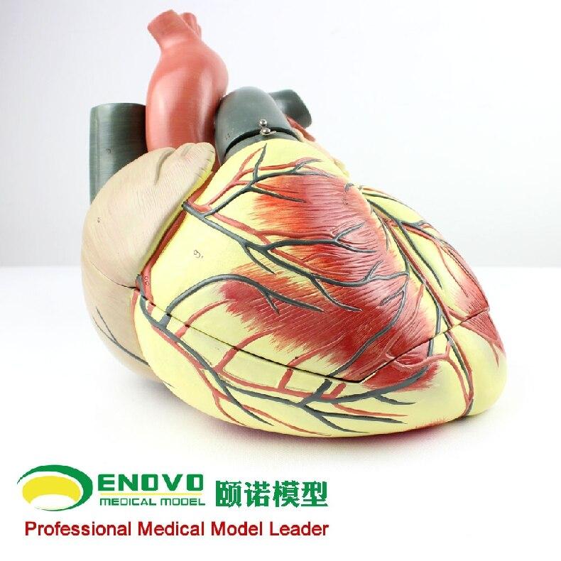 Medizinische ultraschall menschliche herz modell abteilung ...