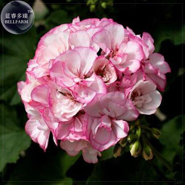 Bellfarm 5 pink picotee geranium bonsai flowers huge hydrangea bellfarm 5 pink picotee geranium bonsai flowers huge hydrangea like pelargonium mightylinksfo