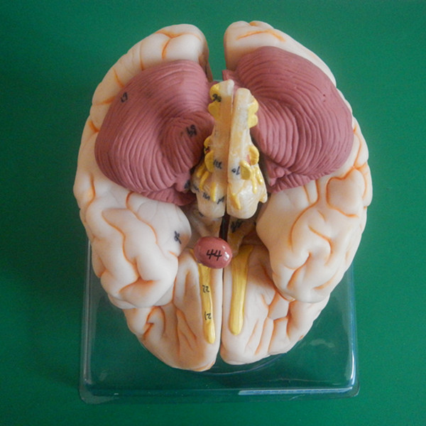 ISO Deluxe Human Brain model, Anatomical Brain ModelISO Deluxe Human Brain model, Anatomical Brain Model