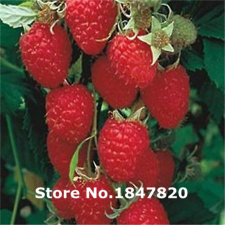 GGG Rare raspberry Seeds 10 kinds 100 Mix Colors friut Seeds High survival Rate for Home