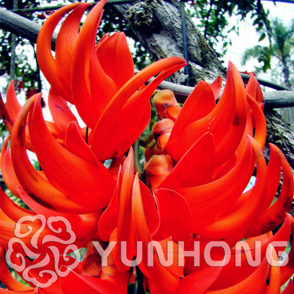 Rare Heirloom Mucuna Blue Red Black Jade Vine Bonsai Very Beautiful Perennial Flowers Ornamental Tree 10pcs Bonsai