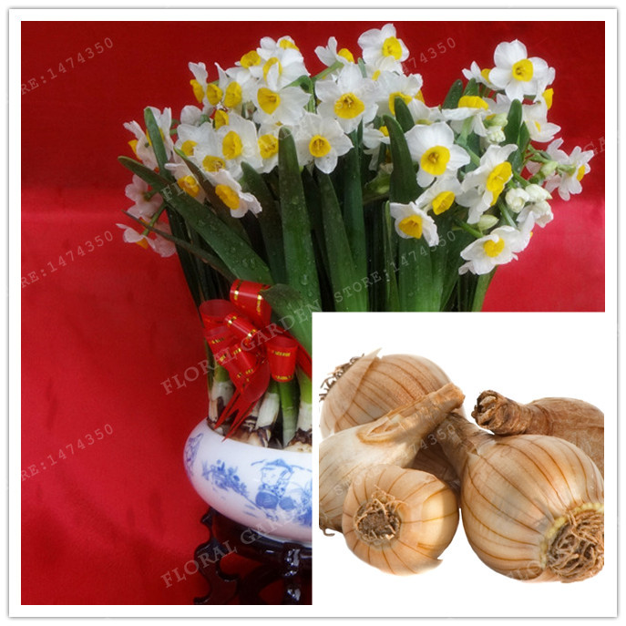 True Color Mixing Narcissus Bulbs,Daffodil Bulbs Bonsai Aquatic Plants Double Petals Absorption Radiation Potted Plant -2 Bulb