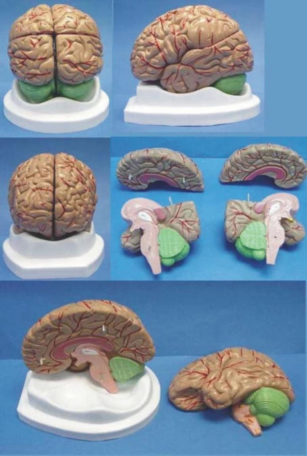Brain anatomy Organ anatomical model Medical Human specimens free ...