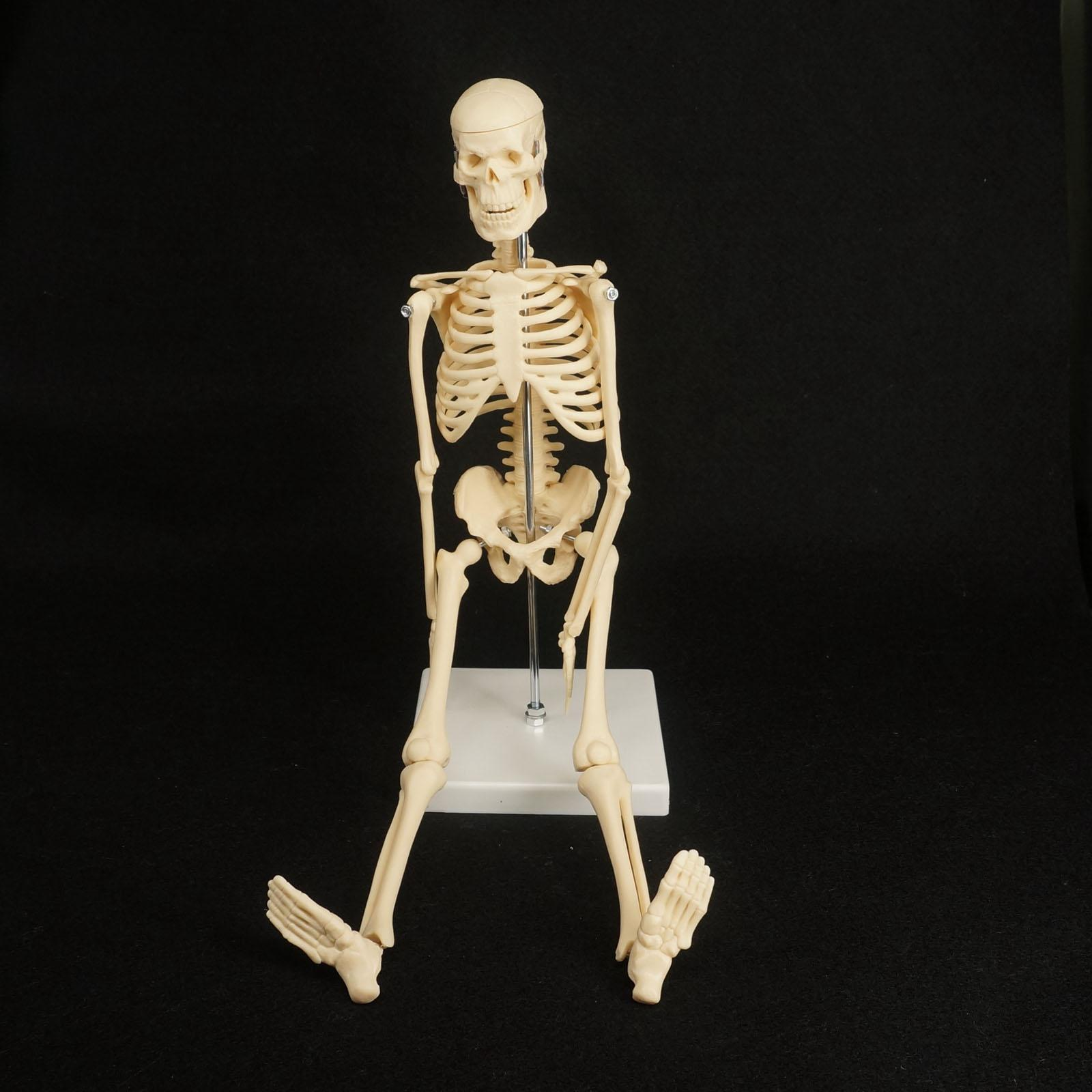 45CM Physique Mini Anatomical Skeleton Human Model Stand Poster Medical Learn Aid Anatomy cmam nasal01 section anatomy human nasal cavity model in 3 parts medical science educational teaching anatomical models