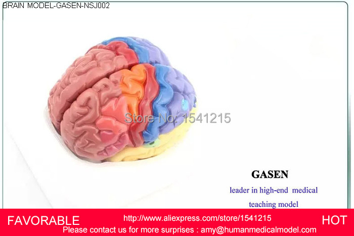 MEDICAL MODEL OF THE HUMAN BRAIN OF THE CORTEX FUNCTION ZONING DISTRICT MODEL BRAIN AND NERVOUS MODEL GASEN-NSJ002 architecture of the north western district of azerbaijan