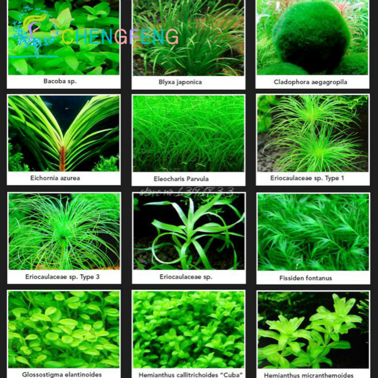 100 pcs aquarium grass seeds mini aquatic plants tank grass seed indoor beautifying fish plant - Indoor water plants list ...