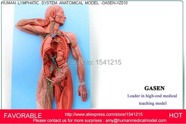 Aliexpress Buy Lymphatic System Modelhuman Lymphatic System