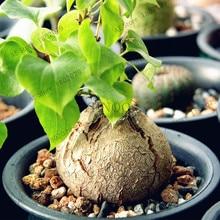 Dioscorea elephantipes Hottentot bread elephant's foot Seeds 2pcs