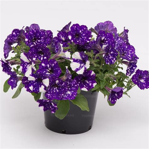 200 Pcs Hanging Petunia Seedsflower Blue Morning Glory Bonsai, Rare Color Petunia Flower,Bonsai Plant for Home Garden Decoration