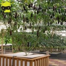 100% Настоящий Гигант Баклажан Семени, 100 Семена/Пакет, БЕЗ ГМО Органические Растительные Абориген Семян Для Теплицы и Сад Растений
