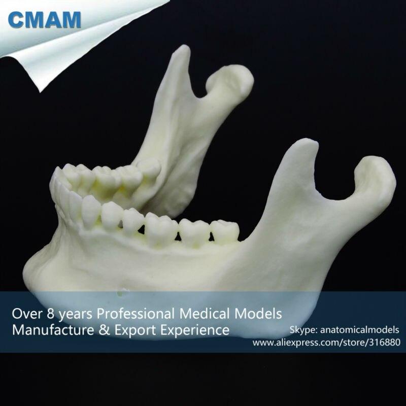 CMAM-DT106 Dental Simulation Mandibular Model  манометр chameleon dt 106