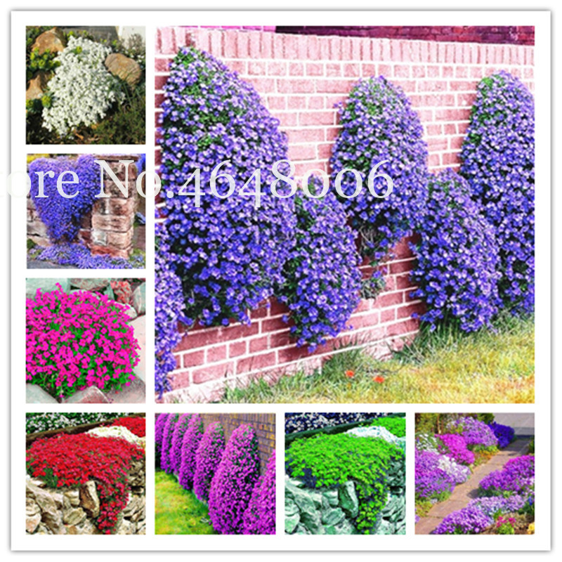 100 Pcs Creeping Thyme Bonsai, Colorful Rock Cress Perennial Ground Cover Flower Natural Growth For Home Garden Climbing Plant